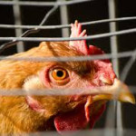 Op-Ed: Chicken Houses Put Shore at Risk