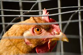Image courtesy of stopfactoryfarming.org