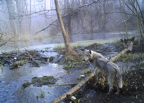 In this photo made in April 2012, a wolf in a wild wood in Ukraine's Chernobyl, where nearly 30-years after a nuclear reactor caught fire and spewed a lethal cloud of radiation, some species of mammals are found to be thriving without the effect of human contact in the area. According to a new study published in the journal Current Biology, led by environmental scientist Jim Smith at Britain's University of Portsmouth, the nature reserve zone extending north from Chernobyl power plant into Belarus, found that elk, deer, wild boar and wolves are now abundant in the Polesie reserve which was established after the 1986 disaster, where some 20,000 people once lived. (AP Photo/Sergiy Gaschak)
