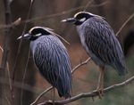 Eastern Shore Bird Club hosts Clyde Morris on China Culinary Delights, Sept 13th