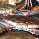 Blue Crabs are on the rise, a great season is predicted