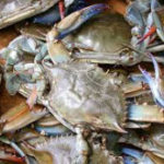 Blue Crab Winter Dredge Survey indicates healthy stock