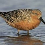 BIC Coffee Hour Lecture and Performance Series: Implications of Climate Change on Red Knots Using Virginia Barrier Island Stopover Habitat