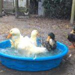 UPC Welcomes Four Ducks to Machipongo Sanctuary