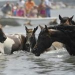 PETA Voices Concerns over Chincoteague Pony Penning