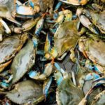 Despite downturn, scientist still hopeful for Blue Crab