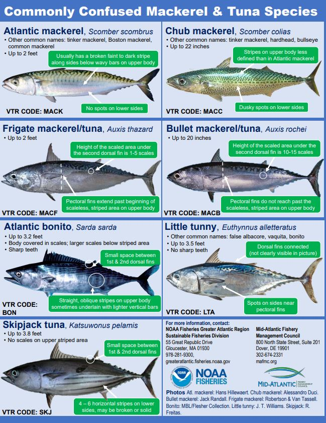 New Tuna and Mackeral Guide – CAPE CHARLES MIRROR